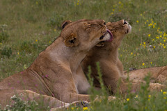 Lionness and her cub (Circum_Navigation) Tags: africa park nature animal cat outside cub nationalpark wildlife lion young namibia etosha lionness