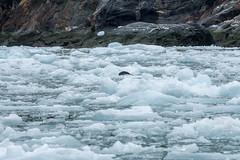 _MG_5077a (markbyzewski) Tags: alaska ugly iceberg tracyarm southsawyerglacier