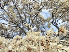 (mahler9) Tags: nature boston arboretum magnolia arnoldarboretum jaym mahler9 andantecomodofotos
