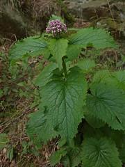 A Wild Honey Child (Bricheno) Tags: flower macro scotland woods escocia szkocja pitlochry schottland scozia cosse faskally  esccia   bricheno scoia