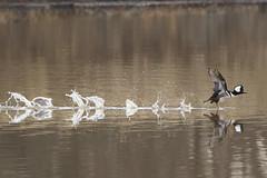 Running Merganser  (jeanne.marie.) Tags: winter lake male bird nature golden running copper takeoff hoodedmerganser
