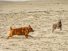 Jeux de plage (JSEBOUVI : thanks for 1.9 million views !) Tags: sea dog chien mer game france beach photo sand north sable plage roux saut nord chiens merdunord jeu touquet jsebouvi sbastienbouvier