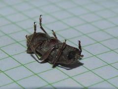Cerambycidae Cerambycinae>Elaphidiini? Longicorn Beetle DSCF6457 (Bill & Mark Bell) Tags: exmouth westernaustralia australia geo:town=exmouth geo:state=westernaustralia geo:country=australia geo:lon=11425453egeolat2217752sgeoalt8m 11425453e2217752salt8m taxonomy:kingdom=animalia animalia taxonomy:phylum=arthropoda arthropoda taxonomy:class=insecta insecta taxonomy:order=coleoptera coleoptera taxonomy:family=cerambycidae cerambycidae taxomomy:subfamily=cerambycinae cerambycinae taxonomy:genus=elaphidiini elaphidiini taxonomycommonnamelongicornbeetle longicornbeetle insect animal fauna beetle