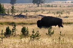 buffalo soldier (Ben Bill) Tags: usa nationalpark buffalo yellowstone bison westusa