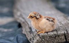 chick (22) (Vlado Ferenčić) Tags: chicken birds croatia chick podravina nikkor8020028 nikond90 diamondclassphotographer flickrdiamond