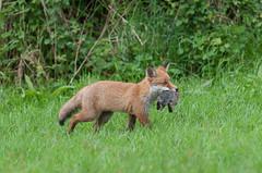 Fox cub with rabbit (Alan Dixon) Tags: england cub europe norfolk carnivore lagomorph europeanrabbit oryctolaguscuniculus britishmammal red summer redfox vulpesvulpes