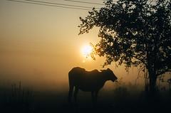 Bovine Breakfast (Sheikh Shahriar Ahmed) Tags: morning winter food sun fog breakfast digital dawn cow nikon cattle foggy dhaka bangladesh banasree dhakadivision aftabnagar sheikhshahriarahmed