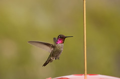 Image5090Web (staffordlaura1955) Tags: laura bird nature birds hummingbird desert feeder hummingbirds stafford wildife