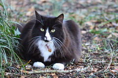 White Whiskers (pjpink) Tags: winter white cat virginia intense feline january kitty richmond whiskers stare northside rva 2015 pjpink ginterpark northsidecat