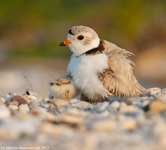 Fluffy butt (v4vodka) Tags: nature animal wildlife chick birdwatching plover pipingplover shorebird charadriusmelodus pipingploverchick birdbirding sieweczkablada