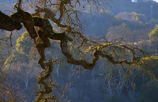 Magical: The Twisted Coastal Oak
