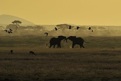 Two elephants doing a mock battle as Egyptian geese fly overhead (diana_robinson) Tags: silhouette kenya elephants eastafrica egyptiangeese mockbattle amboselinationalpark mockfight thomsonsgazelles dianarobinson nikond3s
