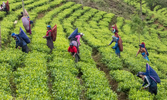 Tea picking (dirk j slotboom) Tags: srilanka 2014 slotboom nuwaraeliya centralprovince teapicking dirkslotboom