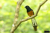 White-rumped Shama (Copsychus malabaricus) (Dave 2x) Tags: gardens botanical taiwan exotic taipei shama whiterumped released introduced taipeibotanicalgardens copsychus malabaricus whiterumpedshama copsychusmalabaricus leastconcern
