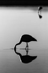 Silhouette (vglima1975) Tags: bird animal wildlife flamingo atacama sanpedrodeatacama atacamadesert lagunachaxa