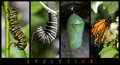 Evolution (yravaryphotoart.com) Tags: macro closeup canon butterfly insect bokeh montreal papillon monarch insecte monarque canoneos7d canonef100mmf28lmacroisusm yravary yravaryphotoart