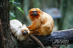 Golden Tamarin (Jawor_Photography) Tags: wild southamerica nature animal animals outside mammal outdoors zoo monkey golden rainforest natural wildlife small ape tropical tropic monkeys wilderness primate humid tamarin zoology naturephotography brookfieldzoo zoological southamerican goldentamarin wildlifephotography czs tamarinmonkey goldentamarinmonkey chicagozoologicalsociety jaworphotography