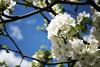Apple Blossom, Lohja 2