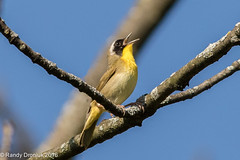 Mellow Yellow (rdroniuk) Tags: birds passerines smallbirds warblers commonyellowthroat commonyellowthroatwarbler geothlypistrichas oiseaux passereaux parulines parulinemasque