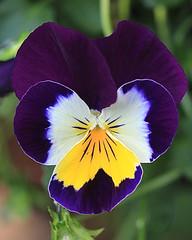 Purple Pansy Macro (hbickel) Tags: flower macro canon purple pansy pad photoaday macrolens canont6i