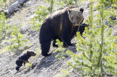Grizzly mother's concern for her tiny cub (wet from crossing the Gibbon River) (V. C. Wald) Tags: yellowstonenationalpark ursusarctos grizzlybear berylspring gibbonriver specanimal grizzlycub greateryellowstonegrizzlybear