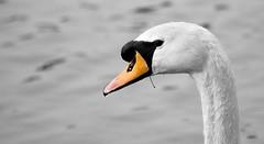 Swan colour splash (Mark Illand) Tags: white black colour nature water birds droplets swan flickr bokeh glasgow wildlife sony glen splash alpha mute a77 rspb rouken sonyalphadslr 70300gssm