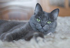 Basya Wishes You a Happy Caturday! (Svetlana Serdiukova) Tags: svetlanaserdiukova nikon d300 nikkor 1755mmf28d cat blue russian russianblue basya closeup look catface beautiful cute 3000v120f