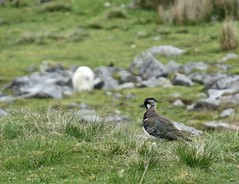 1332 Lapwing - Vanellus vanellus (Andy panomaniacanonymous) Tags: 20160525 ggg greenplover hopemoor lapwing lll mmm moors peewit ppp vanellusvanellus yorkshire