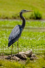 They Call Me Mr. Blue (brev99) Tags: green bird heron pond photos ngc greatblueheron d7100 topazdenoise topazdetail tamron70300vc highqualityanimals