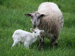 Late lamb has late lamb (baalands) Tags: green grass hair spring sheep pasture single lamb katahdin ewe yearling