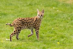 Caracal (btysoe) Tags: cat caracal zsllondonzoo