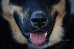 mon loulou <3 (virginiamphoto) Tags: dog chien photo husky flickr photographer amour passion amateur byme mydog jadore canaille bergerallemand geule dbutante monloulou cettebouille