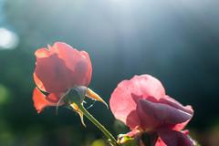 Roses With Glare (pillarsoflight) Tags: pink red roses sun sunlight green beauty oregon 35mm portland prime aperture nikon glare bokeh adobe pdx 18 thorn pnw lightroom wideaperture d3300