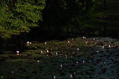 20160522-D7-DS7_2615.jpg (d3_plus) Tags: park street sky plant flower nature japan garden walking drive tokyo nikon scenery bokeh fine daily bloom   nikkor   kanagawa   dailyphoto touring     thesedays  fineday  jindaiji          d700 kanagawapref nikond700