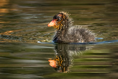 Cute baby Coot - EXPLORE (alicecahill) Tags: california morning wild usa baby cute bird animal wildlife atascadero coot sanluisobispocounty atascaderolake alicecahill