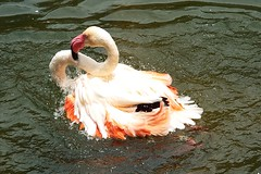 cooling off in a hot summer day (Edmundo lameiras) Tags: flamingo off cooling