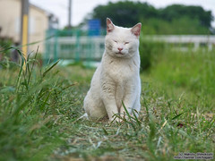 White cat (over_frost) Tags: japan may      5