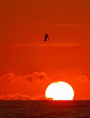 sunrise dive (William Miller 21) Tags: beach nature sunrise canon florida wildlife diving pelican 7d matanzas behavioral 300f4