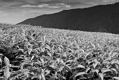 Tea plantation #2 (Der Berzerker) Tags: tea rwanda teaplantation nyungwenationalpark