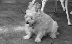 YAWN!!!! (Dotsy McCurly) Tags: ruffy cute dog cairnterrier yawn nikon d750 nj blackandwhite