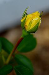 Winter Sun rosebud (Niki Gunn) Tags: flowers roses flower macro rose pentax may tamron 90mm k5 tamron90mm 2016 tamron90mmf28 tamron90mmmacro tamronspaf90mmf28