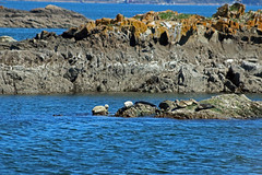 ollicon 456 (ollicrusoe) Tags: rock harbour sausage seal