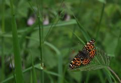 Landkaartje Araschnia levana (gelein.zaamslag) Tags: holland nature netherlands fauna butterfly nederland natuur zeeland papillon vlinders vlinder zeeuwsvlaanderen araschnialevana geleinjansen
