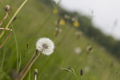 Time stands still (he4dgirl) Tags: downs countryside afternoon meadows depthoffield fields wiltshire ssi dandelions earlysummer countrylife buttercups makeawish dandelionclock greatcheverell cheverells chalkmeadowa