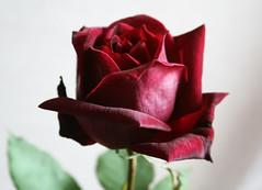Una rosa de mi jardn (leograttoni) Tags: red naturaleza flower nature rose garden rojo buenosaires flor rosa jardn laplata airelibre