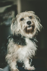 Piper's Portrait | Houston (The Dame of all Trades) Tags: travel dog pets 50mm mutt texas houston wanderlust travelblog petphotography htx dallasphotographer canon6d dallasblogger