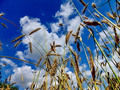 Die hre ... (Wunderlich, Olga) Tags: nature landscape natur himmel wolken insel gelb blau rgen landschaft deu stroh kornfeld getreide strohhalme getreidefeld hre