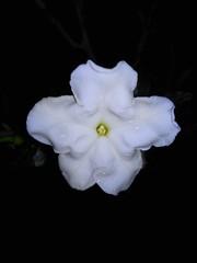 Flowers Beauty (Esteban 507) Tags: flowers flores beautiful gardens night noche petals amazing gloom fotografia preety oscuridad oscuro petalos floresdepanam