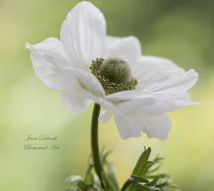 Anemone (Jane Dibnah Botanical Art) Tags: white macro flora anemone selectivefocus floralart gardenflora