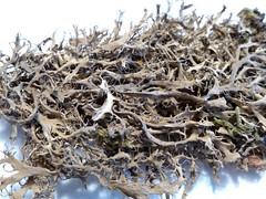 Anaptychia ciliaris (aburgh) Tags: saudiarabia cilia juniperus foliose asirnationalpark corticolous anaptychia alsawdahmts